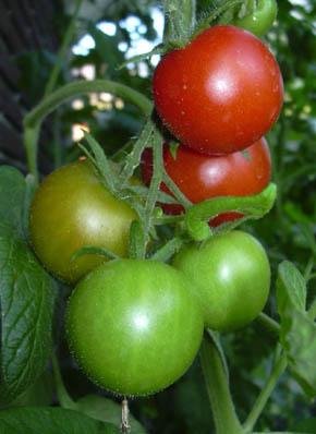 er peberfrugt en frugt eller grøntsag
