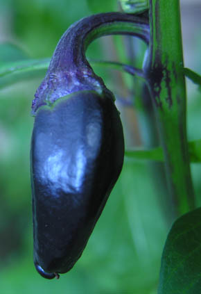 Chili Purple Jalapa�o