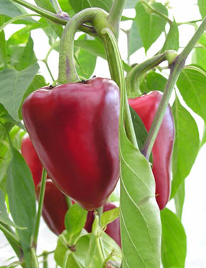 Chili Purple Jalape�o