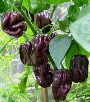 Chili Chocolate Scotch Bonnet