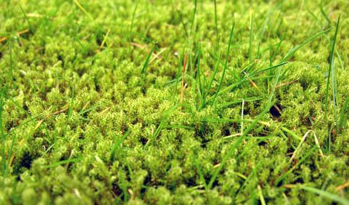 mos i græsplænen hvad gør jeg